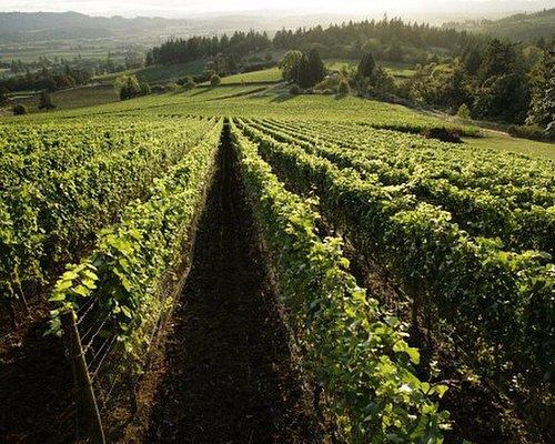 Adelsheim vineyard views