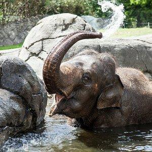 Asian elephant Burma at Auckland Zoo