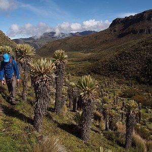 Trekking on a mountainside full of frailejones in Los Nevados National Natural Park