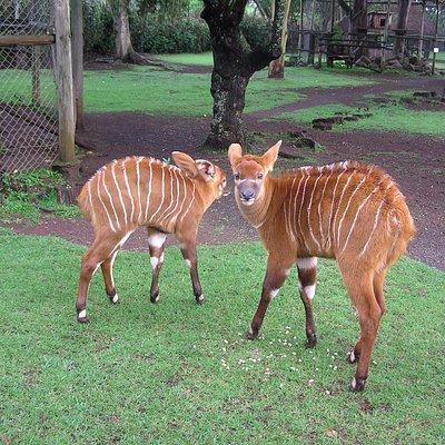 Baby Bongo at the Animal Orphanage