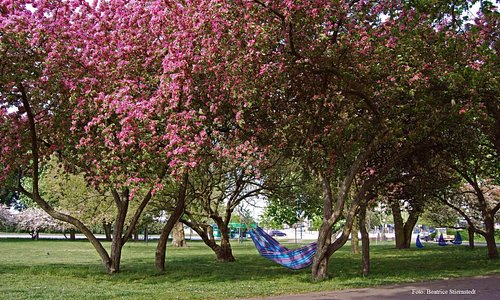 Blommande träd i Stadsparken i Helsingborg. Foto Beatrice Stiernstedt.