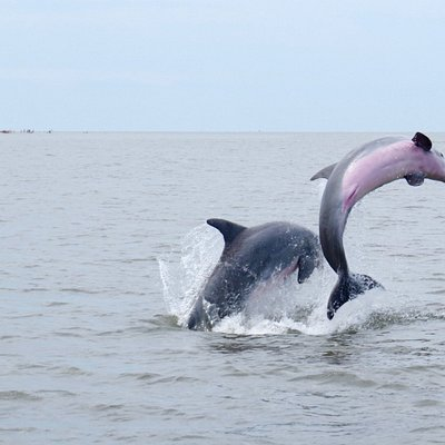 Dolphins in the St. Helena Sound, Edisto Island, SC