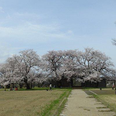 法華寺畑遺跡の桜