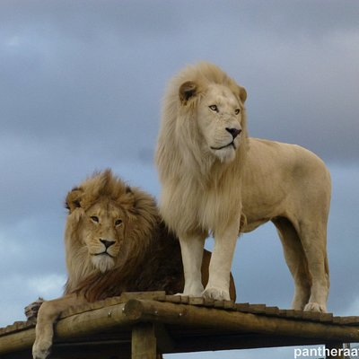 The white lion Oliver and the split lion Obi