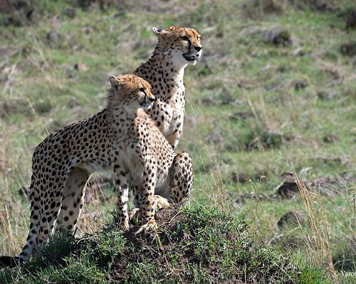 Shot in Masai Mara....Was a nice safari ever seen since my first Trip to Africa ..it was amazing