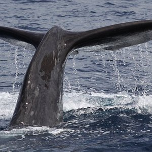 sperm whale, cachalote, whale watching