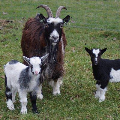 Jaarlijks worden eind februari en maart jonge geitjes en kuikentjes geboren!