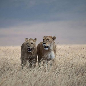 Lion - Scenic Traverse Photography traveled with us