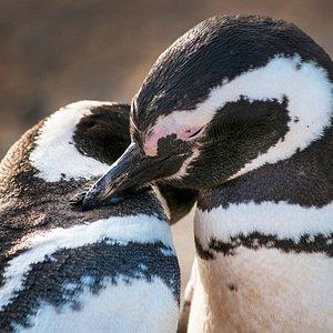 Pinguinos de Isla Magdalena