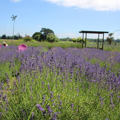 There are several kinds of lavender being grown here.
