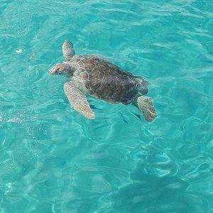 Enorm grote schildpadden