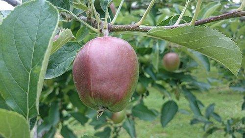 赤く色づき始めたリンゴ