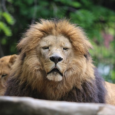 Sammy our male African Lion