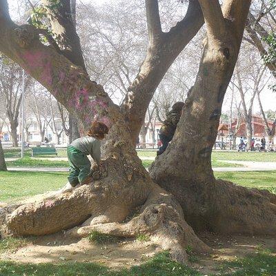lxs niñxs suelen jugar en los árboles de la hermosa plaza Limache