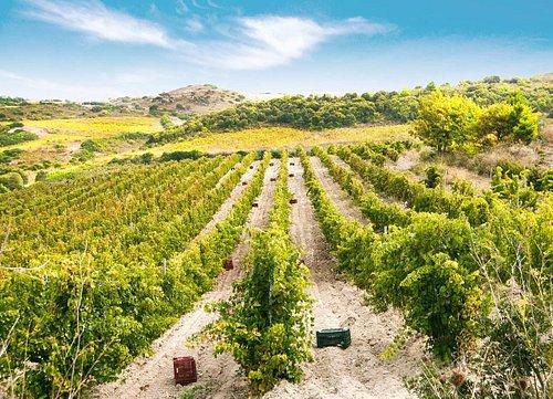la nostra vigna/our vineyard