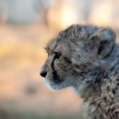 Closeup of one of our cheetahs