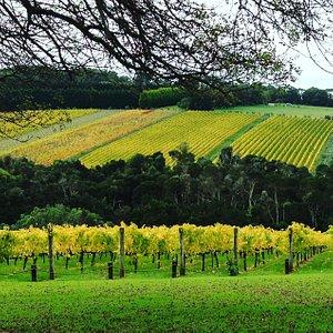 Vineyards looking at their best