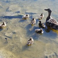 Baby ducks at the lake. July 17