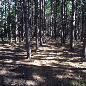 Pines planted by the state tree nursery. Seen along the fitness trail.