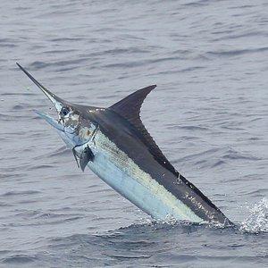 Blue Marlin caught off Quepos