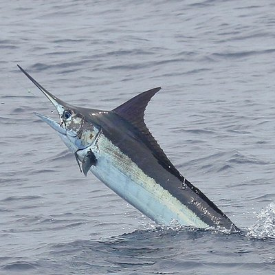 Blue Marlin caught off Quepos