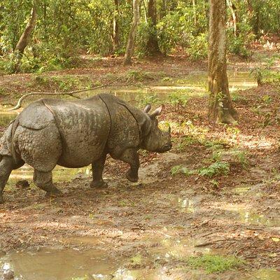 One Horn Rhino in Chitwan National Park