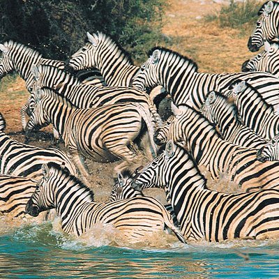 """""""The painted horse"""" - Burchell's Zebra"""