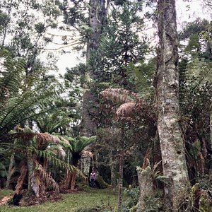Maior Araucaria da Serra Catarinense