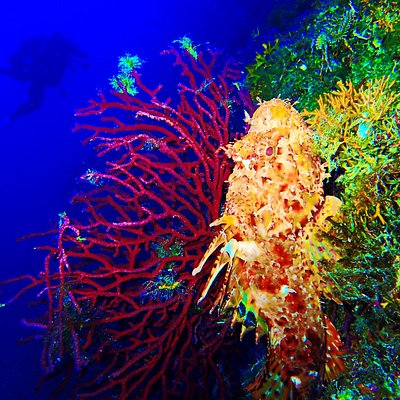 A giant scorpion fish near to a purple gorgonian !!!!