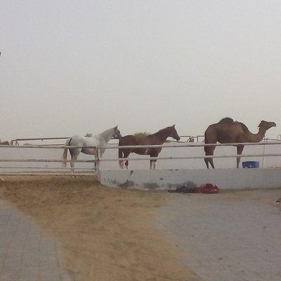 Al Dhabi stable
