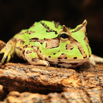 Fantasy Pac-Man Frog