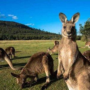 Quoll Patrol tour forester kangaroos