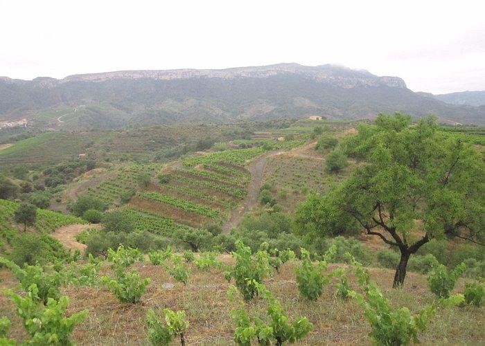 90 летние виноградные лозы!