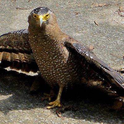 カンムリワシの羽乾かし中、睨んでる。