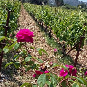 The vineyards of the winery