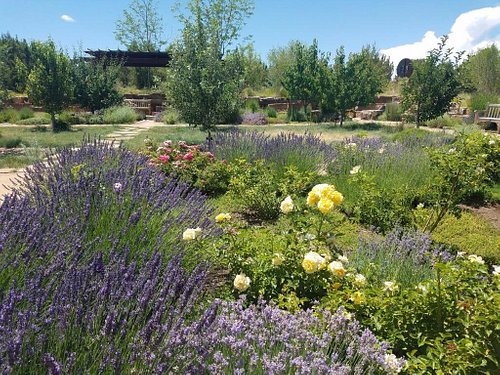 Lavender and roses in our orchard garden
