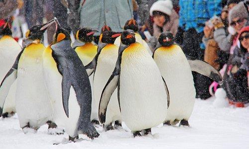 Loveable, irresistible penguins @Asahiyama Zoo - Hokkaido, JAPAN
