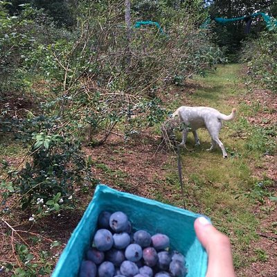 Blueberry picking with my pup