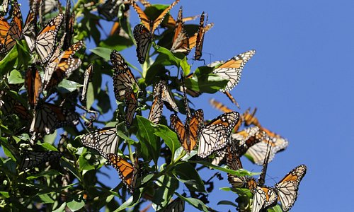 Monarchs In Pismo Beach, January 2017.