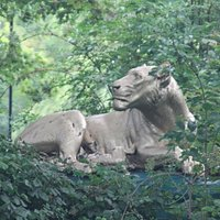 A closer view of the lioness