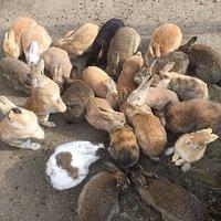 Okunoshima's rabbits waiting to be fed