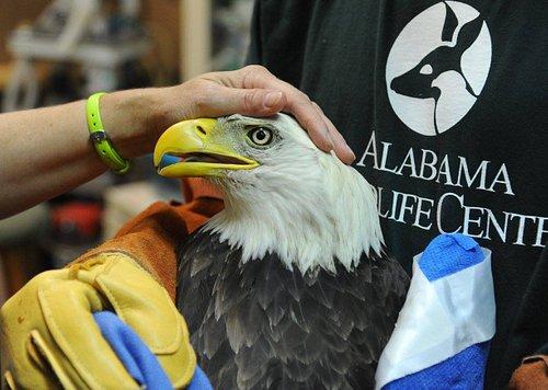 Treating a bald eagle