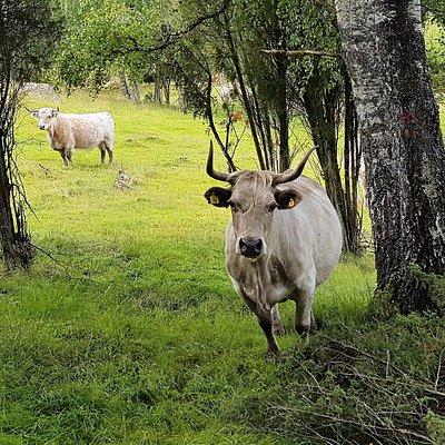 """De """"vilde tyre"""" er meget nysgerrige og af hunkøn"""