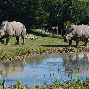 Plaine Africaine (Rhinocéros blancs, Girafes, Gemsboks, Antilopes, Autruches, ...)