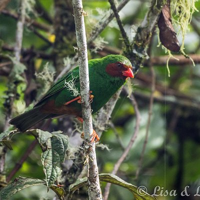 Grass-green Tanager. The Yellow-eared Parrot Reserve, Jardin, Colombia.