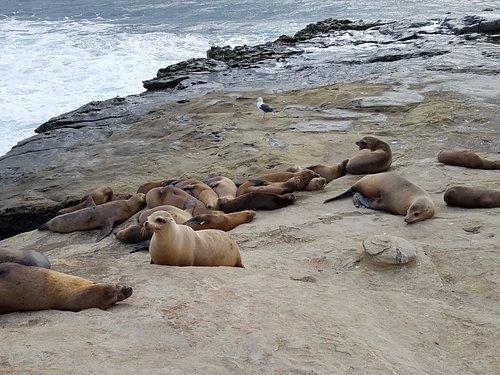 Sea lions at La Jolla off Coast Boulevard