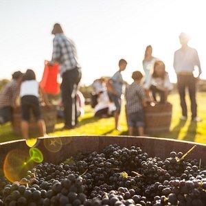 Listos para el pisado de uva, grandes momentos familiares!