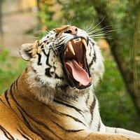 The Siberian tiger at ZOO Ljubljana