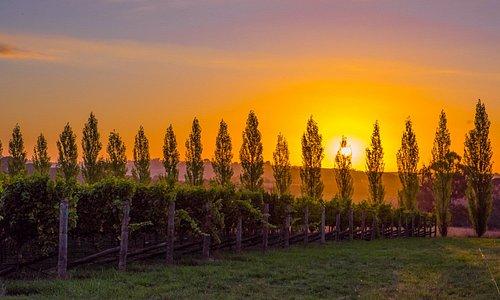 Orange sunset over the vineyard.