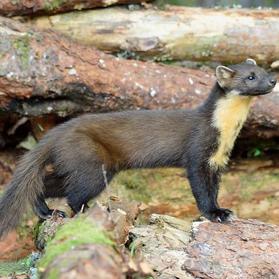 Pinemarten